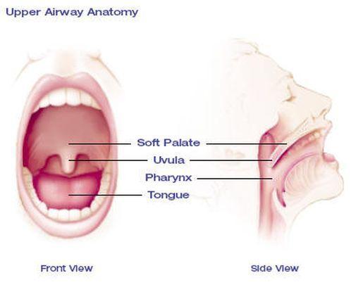 Upper Airway Anatomy